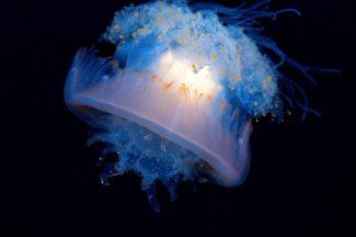 cauliflower-jellyfish.jpg